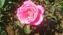 バラ 「芳純」の画像