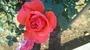 バラ 「インターフローラ」の画像